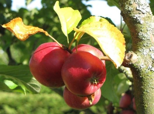jabłuszka eko