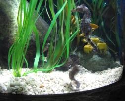 żywy konik morski