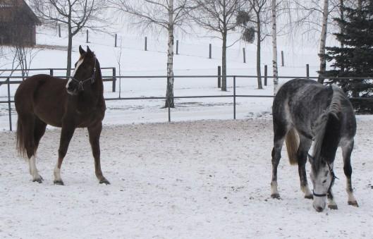 Konie w Galinach